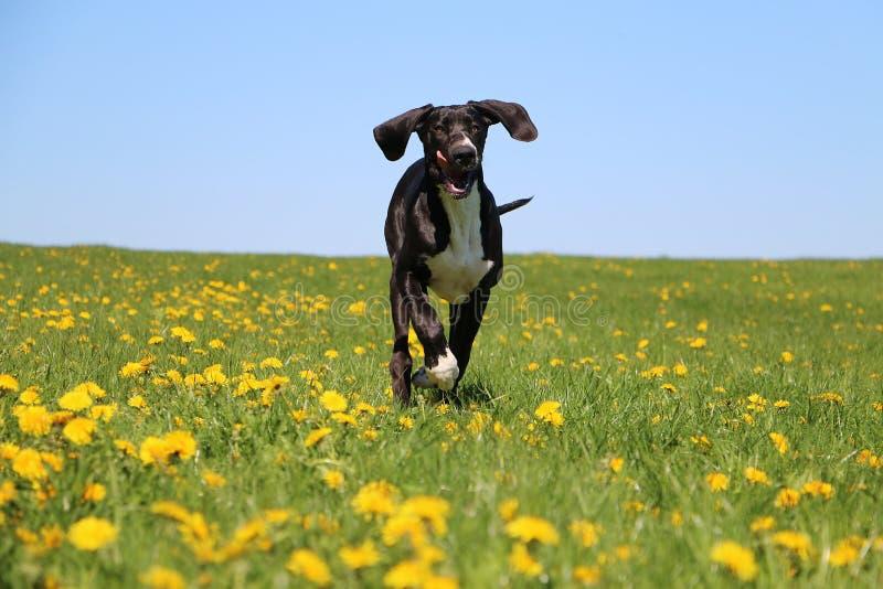 Τρέχοντας μαύρος μεγάλος Δανός στον κήπο στοκ φωτογραφία