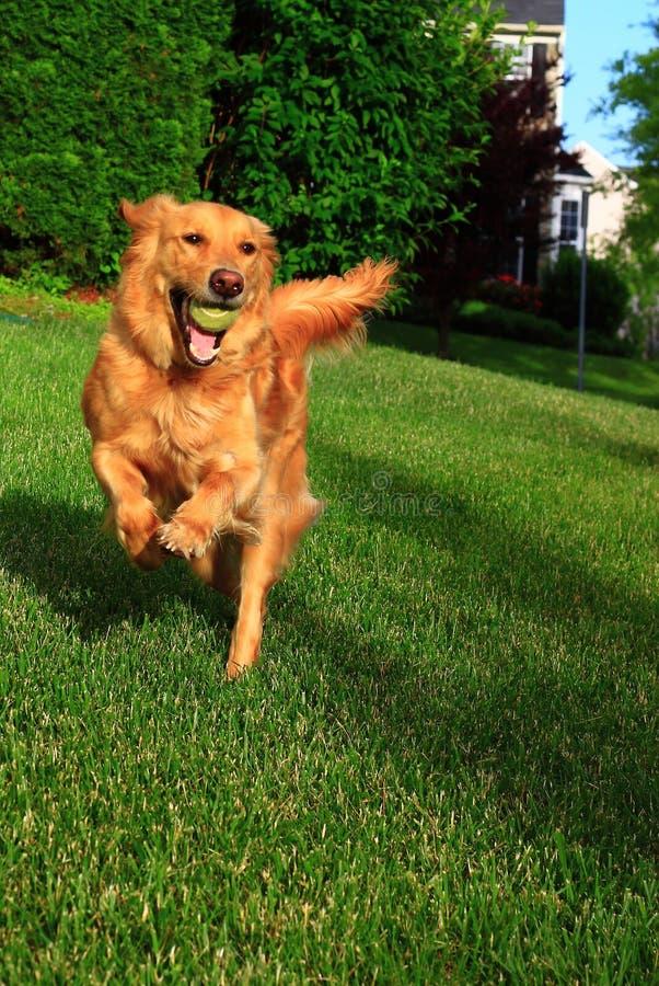 Τρέχοντας σκυλί με τη σφαίρα στοκ εικόνα