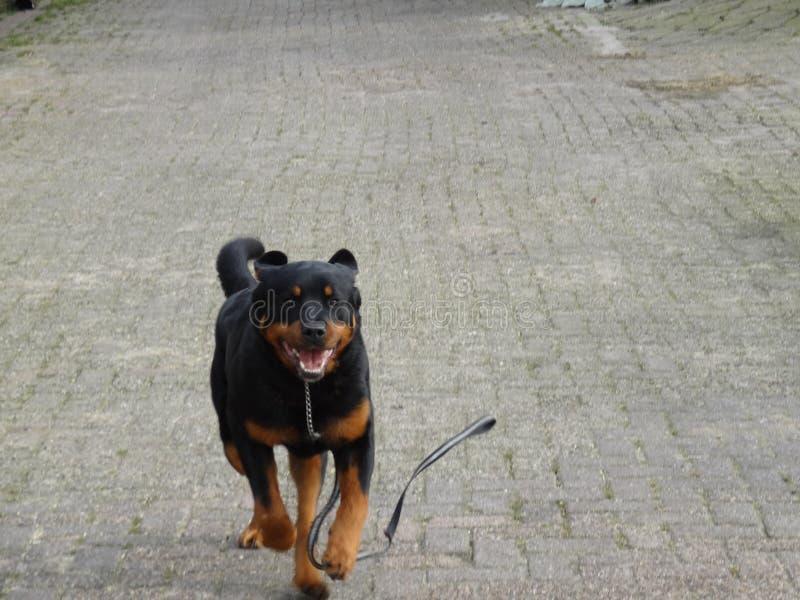 Τρέχοντας σκυλί στοκ εικόνες