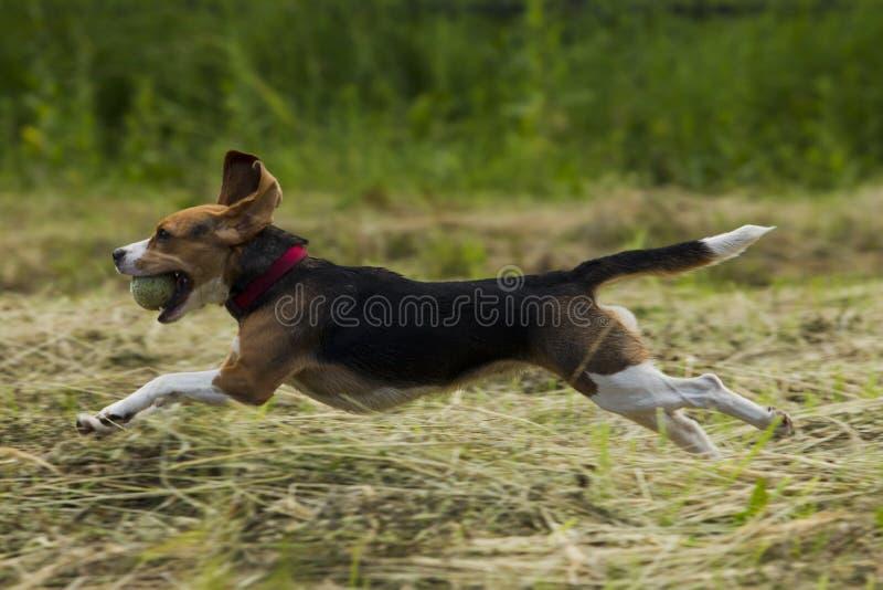 Τρέχοντας σκυλιά λαγωνικών στοκ εικόνα με δικαίωμα ελεύθερης χρήσης