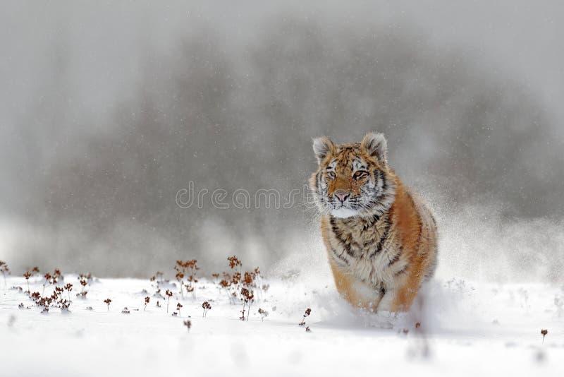 Τρέχοντας τίγρη με το χιονώδες πρόσωπο Τίγρη στην άγρια χειμερινή φύση Τίγρη Amur που τρέχει στο χιόνι Σκηνή άγριας φύσης δράσης, στοκ εικόνες