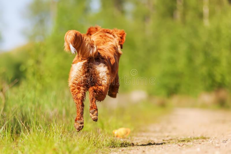 Τρέχοντας Retriever διοδίων παπιών της Νέας Σκοτίας στοκ εικόνες με δικαίωμα ελεύθερης χρήσης