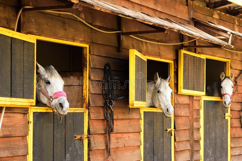 Τρία άσπρα αραβικά άλογα που κοιτάζουν έξω από τα κιβώτιά τους στοκ εικόνα με δικαίωμα ελεύθερης χρήσης
