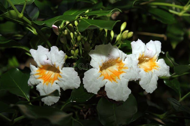 Τρία άσπρα και κίτρινα λουλούδια στοκ φωτογραφία με δικαίωμα ελεύθερης χρήσης