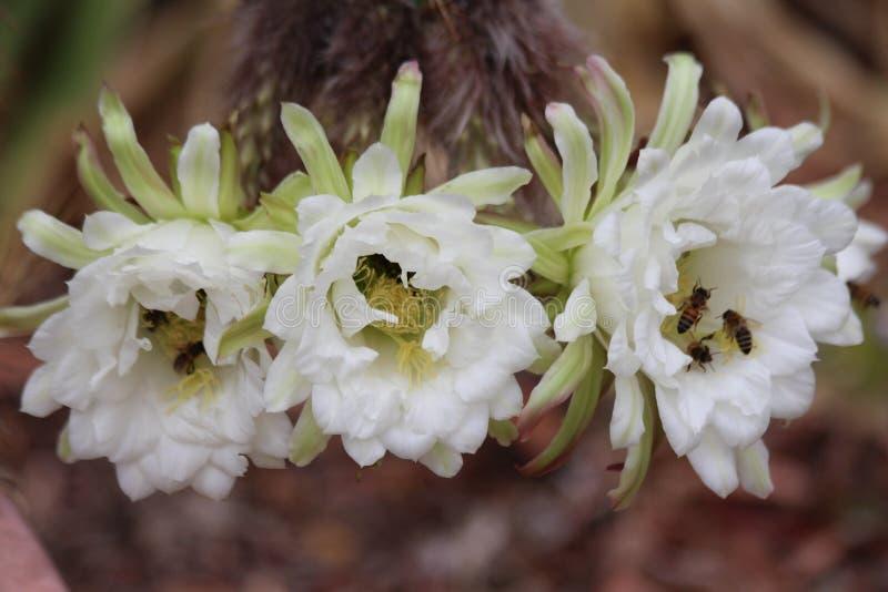 Τρία άσπρα λουλούδια κάκτων με τις μέλισσες στοκ εικόνες