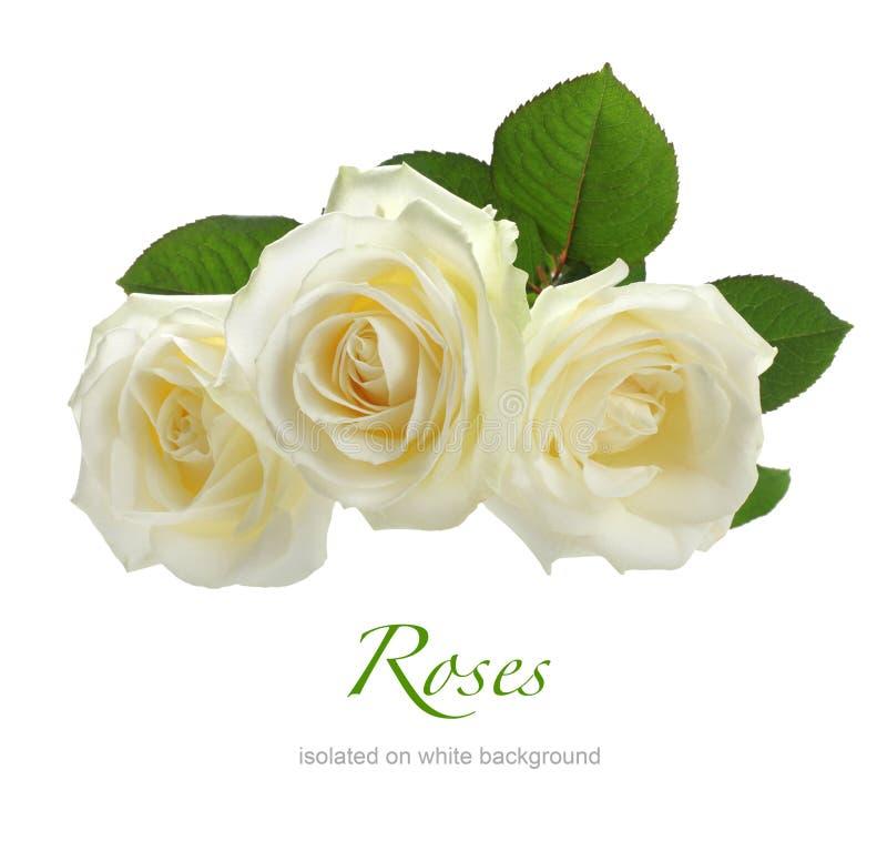 Τρία άσπρα τριαντάφυλλα που απομονώνονται στο λευκό στοκ φωτογραφία με δικαίωμα ελεύθερης χρήσης