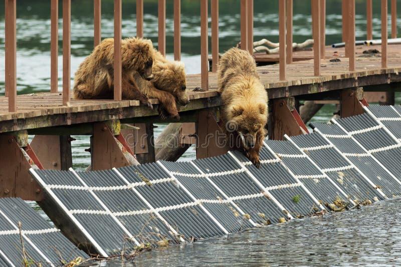 Τρία λίγα καφετιά αφορούν cub το φράκτη για να αποτελέσουν τα ψάρια Λίμνη Kurile στοκ φωτογραφία με δικαίωμα ελεύθερης χρήσης