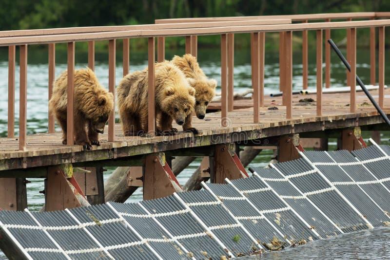 Τρία λίγα καφετιά αφορούν cub το φράκτη για να αποτελέσουν τα ψάρια Λίμνη Kurile στοκ εικόνες