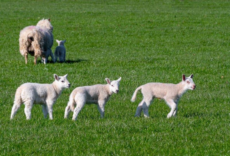 Τρία αρνιά μωρών που τρέχουν σε έναν τομέα στοκ εικόνα