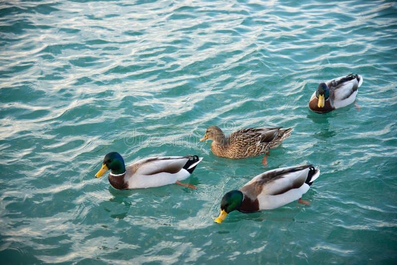 Τρία αρσενικά και ένα θηλυκό των πρασινολαιμών κολυμπούν στην ήρεμη λίμνη του χειμώνα στοκ εικόνα με δικαίωμα ελεύθερης χρήσης