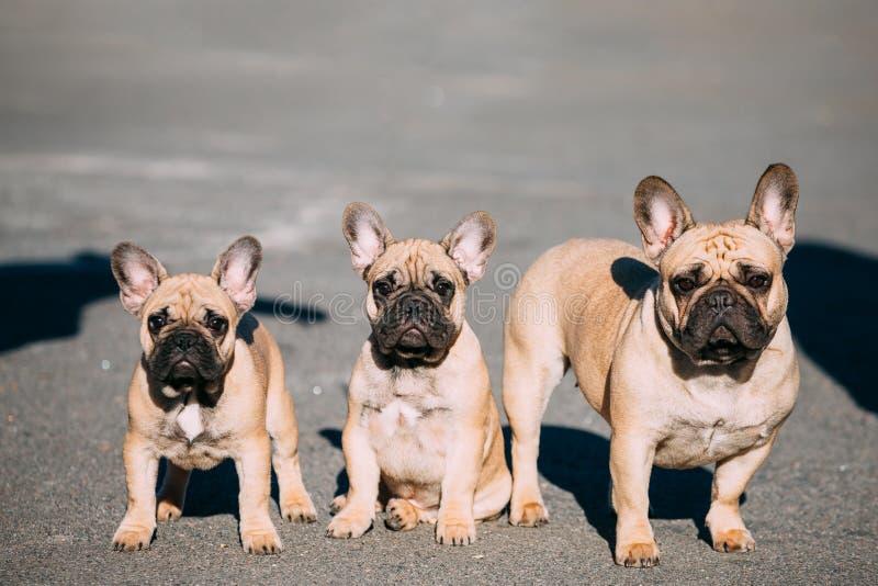 Τρία αστεία καλά γαλλικά κουτάβια σκυλιών μπουλντόγκ υπαίθρια στοκ εικόνα