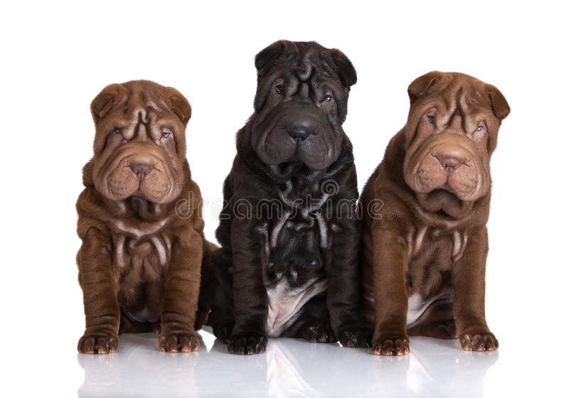 Τρία λατρευτά shar κουτάβια pei στοκ φωτογραφία με δικαίωμα ελεύθερης χρήσης