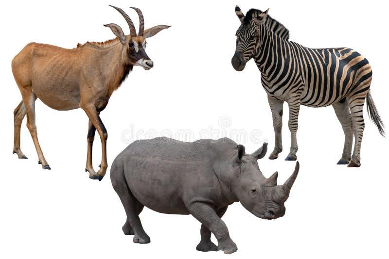 Τρία αφρικανικά άγρια ζώα - αντιλόπη, με ραβδώσεις και ρινόκερος, που απομονώνονται στο λευκό στοκ εικόνες με δικαίωμα ελεύθερης χρήσης