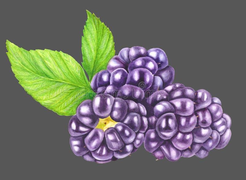 Τρία βατόμουρα με απομονωμένα φύλλα σε γκρι φόντο Απεικόνιση χρώματος γλυκών μούρων Βοτανική τέχνη στοκ φωτογραφίες με δικαίωμα ελεύθερης χρήσης