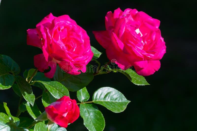 Τρία, δύο φωτεινά ερυθρά τριαντάφυλλα και ένα κλειστό μπουμπούκι τριαντάφυλλου σε ένα μαύρο υπόβαθρο στοκ φωτογραφίες με δικαίωμα ελεύθερης χρήσης