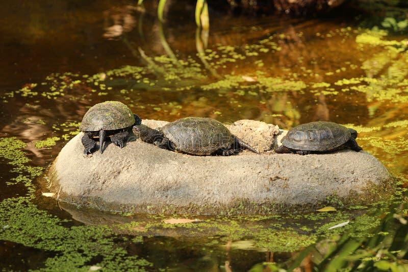 Τρία ευρωπαϊκά orbicularis Emys χελωνών λιμνών σε μια πέτρα, ηλιοθεραπεία στοκ εικόνα με δικαίωμα ελεύθερης χρήσης