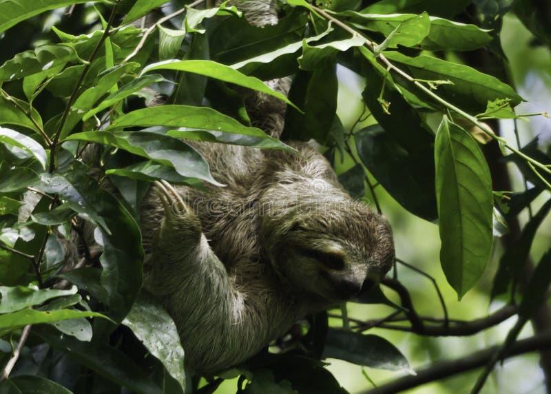 Τρία η νωθρότητα στη Κόστα Ρίκα στοκ εικόνες