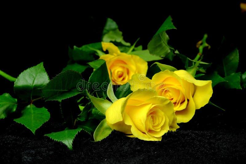 Τρία κίτρινα τριαντάφυλλα στο μαύρο βελούδο στοκ φωτογραφίες με δικαίωμα ελεύθερης χρήσης