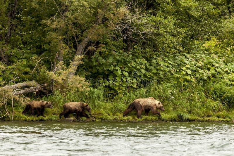 Τρία καφετιά αντέχουν το beringianus arctos Ursus περπατώντας κοντά στη λίμνη Kamchatka, Ρωσία στοκ εικόνες με δικαίωμα ελεύθερης χρήσης