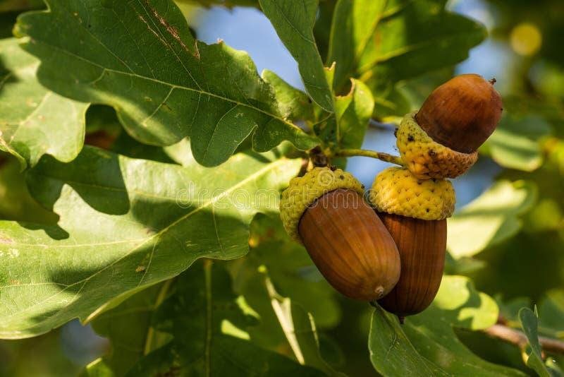 Τρία καφετιά βελανίδια στο δρύινο δέντρο φθινοπώρου στοκ εικόνες με δικαίωμα ελεύθερης χρήσης