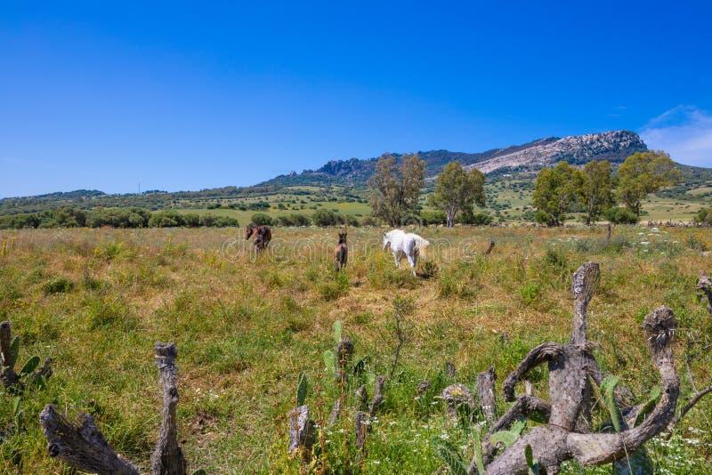 Τρία καφετιά και άσπρα άλογα ένα στην επαρχία του Καντίζ στοκ φωτογραφίες με δικαίωμα ελεύθερης χρήσης