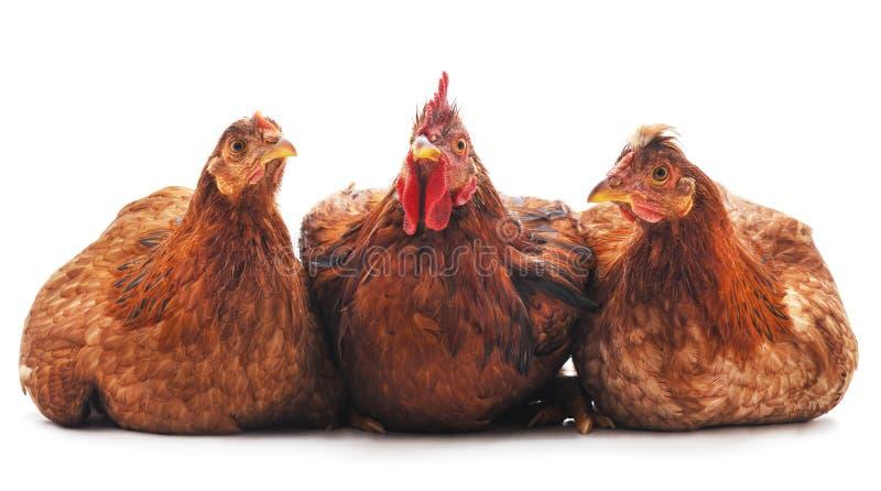 Τρία καφετιά κοτόπουλα στοκ εικόνα με δικαίωμα ελεύθερης χρήσης
