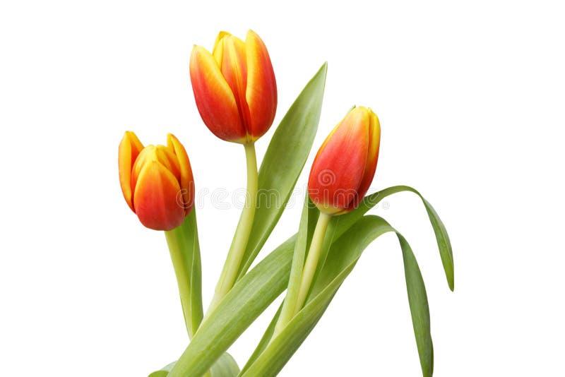 Τρία κόκκινος-κίτρινα λουλούδια τουλιπών που απομονώνονται στο λευκό στοκ εικόνες