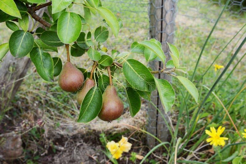 Τρία κόκκινος-πράσινα αχλάδια του Ουίλιαμς που αυξάνονται στον κλάδο στοκ φωτογραφία με δικαίωμα ελεύθερης χρήσης