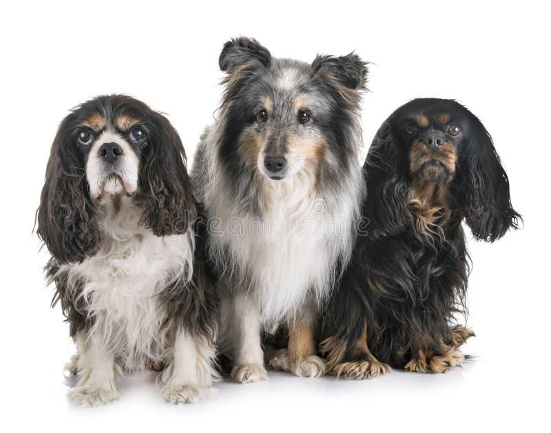 Τρία μικρά σκυλιά στοκ φωτογραφία με δικαίωμα ελεύθερης χρήσης