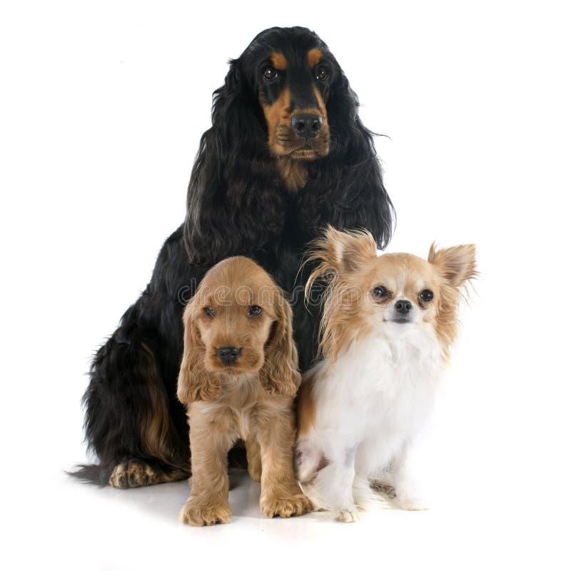 Τρία μικρά σκυλιά στοκ φωτογραφία
