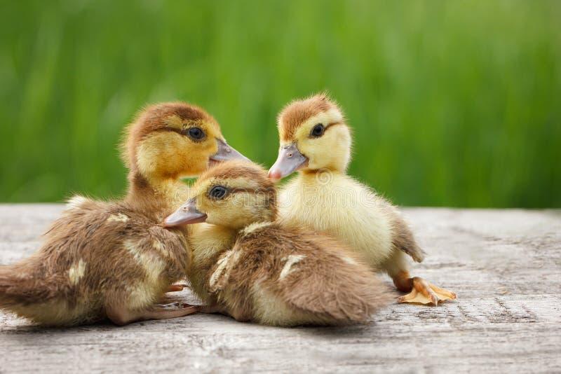 Τρία μικρός νεοσσός, κατοικίδια ζώα, πράσινα στοκ φωτογραφίες με δικαίωμα ελεύθερης χρήσης