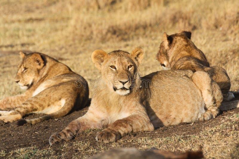Τρία νέα λιοντάρια στο φως πρωινού στοκ φωτογραφία