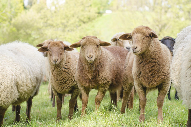 Τρία νέα πρόβατα στοκ εικόνα με δικαίωμα ελεύθερης χρήσης