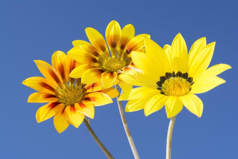 Τρία λουλούδια Gazania Rigen ενάντια στον ουρανό στοκ εικόνα
