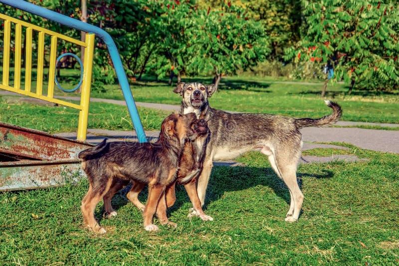 Τρία περιπλανώμενα σκυλιά που παίζουν στο πάρκο στοκ εικόνες
