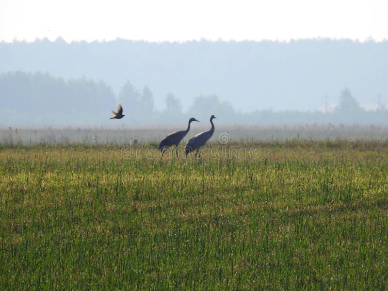 Τρία πουλιά στα ξημερώματα λιβαδιών, Λιθουανία στοκ φωτογραφίες με δικαίωμα ελεύθερης χρήσης
