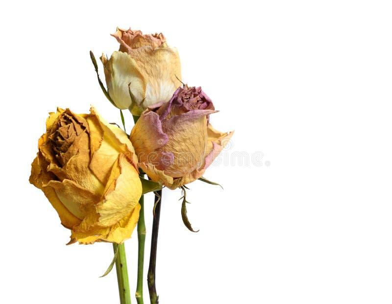 Τρία που εξασθενίστηκαν μαραμένος αυξήθηκαν λουλούδια που απομονώθηκαν στο λευκό στοκ εικόνα