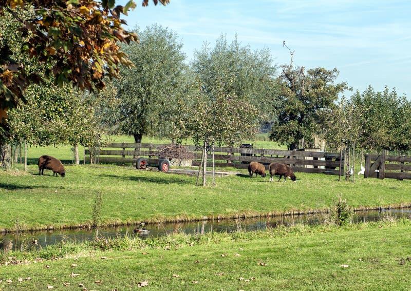 Τρία πρόβατα κατά τη βοσκή εκτός από ένα κανάλι, Κάτω Χώρες στοκ εικόνα