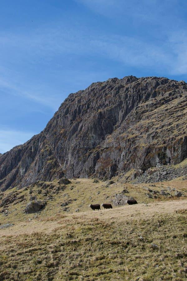 Τρία πρόβατα που περπατούν στο ενιαίο αρχείο μπροστά από το δραματικό απότομο βράχο βουνών στοκ φωτογραφίες με δικαίωμα ελεύθερης χρήσης