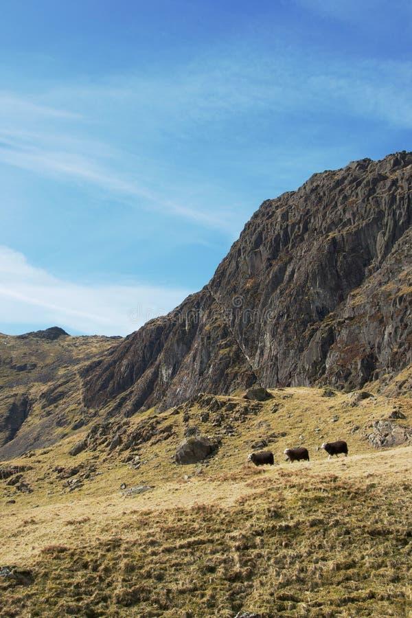 Τρία πρόβατα που περπατούν στο ενιαίο αρχείο μπροστά από το δραματικό απότομο βράχο βουνών στοκ φωτογραφίες