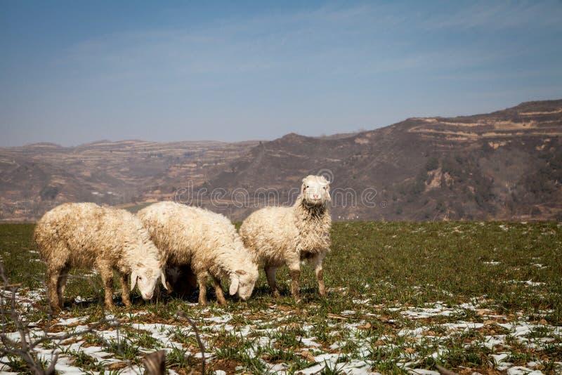 Τρία πρόβατα στοκ φωτογραφίες