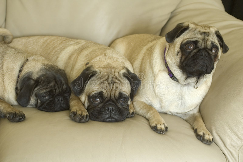 Τρία σκυλιά μαλαγμένου πηλού στον καναπέ στοκ φωτογραφίες