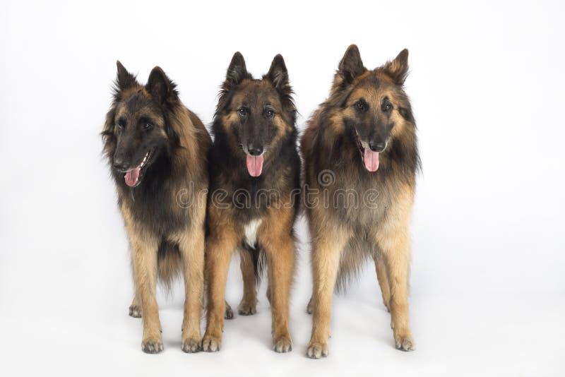 Τρία σκυλιά, βελγικός ποιμένας Tervuren, που απομονώνεται στο άσπρο υπόβαθρο στούντιο στοκ εικόνες