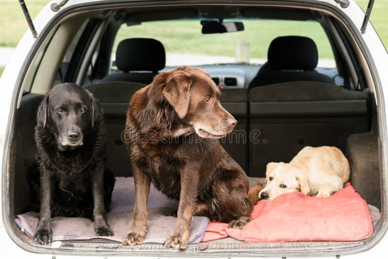 Τρία σκυλιά κοιτάζουν στις διαφορετικές κατευθύνσεις καθμένος σε ένα αυτοκίνητο στοκ εικόνες