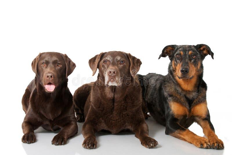 Τρία σκυλιά στοκ φωτογραφίες με δικαίωμα ελεύθερης χρήσης