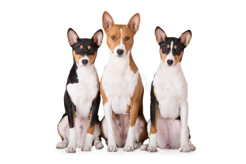 Τρία σκυλιά basenji στο λευκό στοκ φωτογραφίες