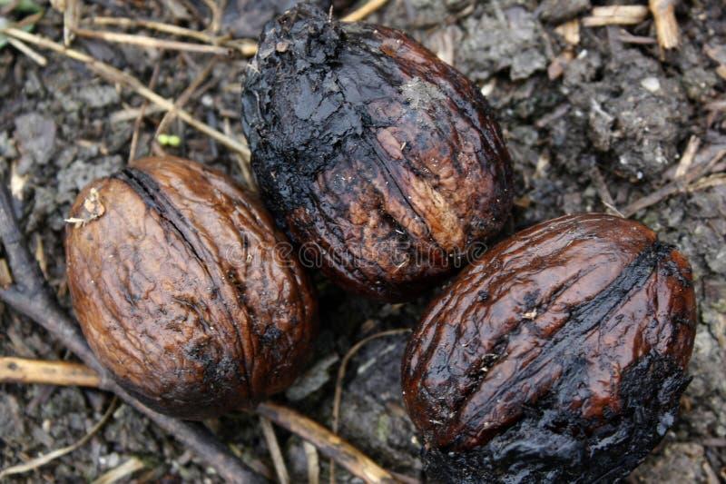 Τρία υγρά καρύδια στο λασπώδες έδαφος του Forrest στοκ φωτογραφία με δικαίωμα ελεύθερης χρήσης