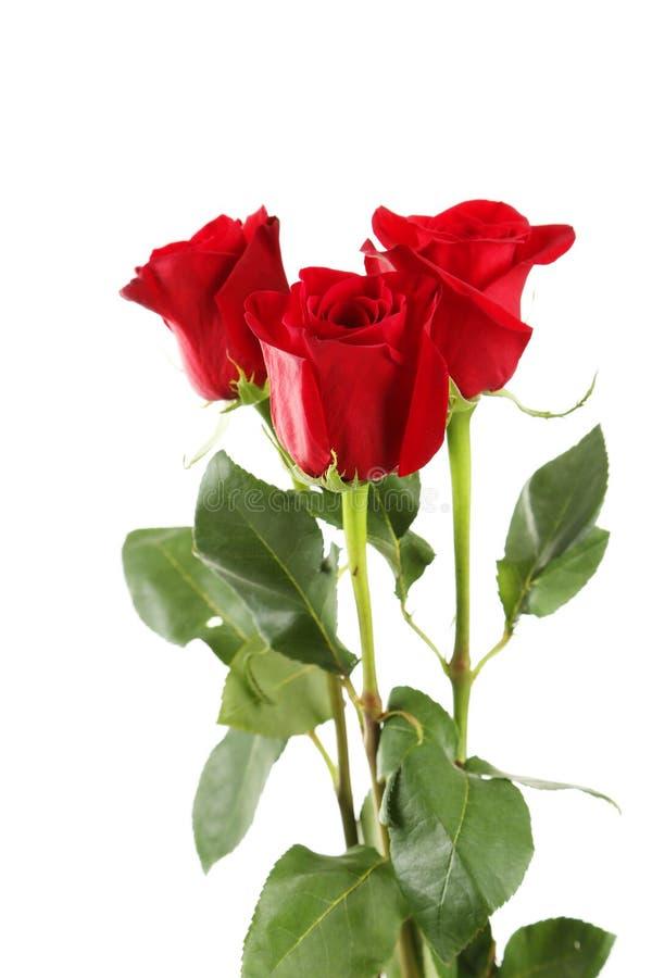 Τρία φρέσκα κόκκινα τριαντάφυλλα στο άσπρο υπόβαθρο, κλείνουν επάνω στοκ φωτογραφίες