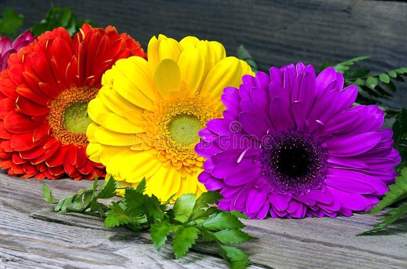 Τρία χρωματισμένο gerbera στοκ φωτογραφίες με δικαίωμα ελεύθερης χρήσης