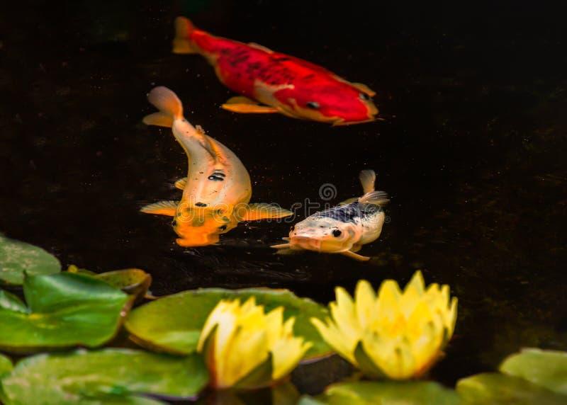 Τρία ψάρια κυπρίνων koi και δύο κρίνοι και μαξιλάρια νερού σε μια ήρεμη λίμνη Τα ψάρια είναι πορτοκαλιά, χρυσά και ασημένια χρώμα στοκ φωτογραφίες